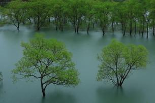 白川湖 水没林の写真素材 [FYI04287083]