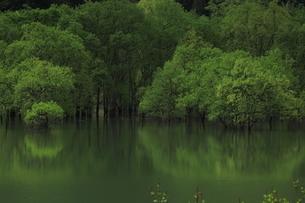 白川湖 水没林の写真素材 [FYI04287085]