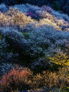 木下沢梅林 日本 東京都 八王子市の写真素材 [FYI04287301]