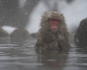 地獄谷温泉野猿公苑 日本 長野県 山ノ内町の写真素材 [FYI04287357]