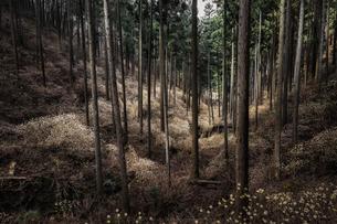 ミツマタ群生地 日本 栃木県 茂木町の写真素材 [FYI04287370]