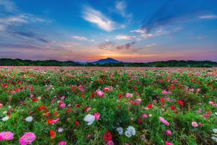 小貝川ふれあい公園ポピー畑 日本 茨城県 下妻市の写真素材 [FYI04287371]