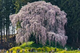 合戦場のしだれ桜 日本 福島県 二本松市の写真素材 [FYI04287372]