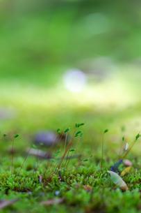 苔の胞子嚢 日本 山口県 岩国市の写真素材 [FYI04287423]