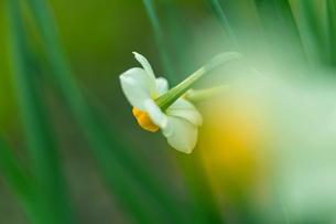 水仙 広島市植物公園 日本 広島県 広島市の写真素材 [FYI04287434]
