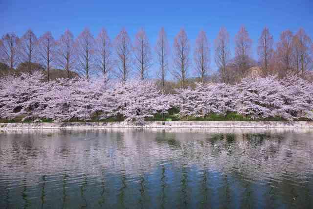 満開の桜 大阪城 日本 大阪府 大阪市の写真素材 [FYI04287519]
