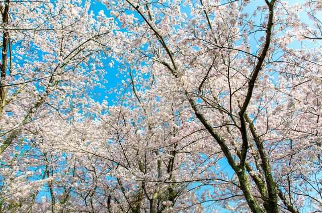 桜の写真素材 [FYI04287552]