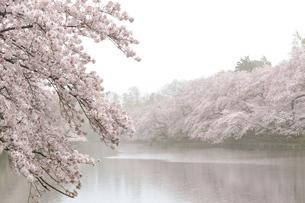 井の頭公園 日本 東京都 三鷹市の写真素材 [FYI04287810]