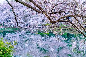 井の頭公園 日本 東京都 三鷹市の写真素材 [FYI04287813]