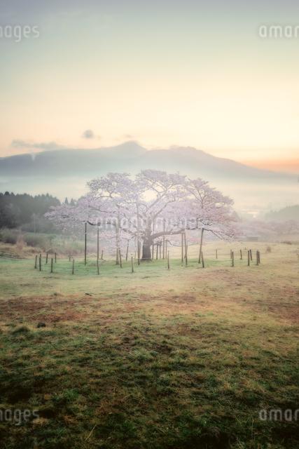 観音桜 日本 熊本県 阿蘇郡の写真素材 [FYI04287934]