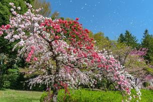 神代植物公園 日本 東京都 調布市の写真素材 [FYI04288015]