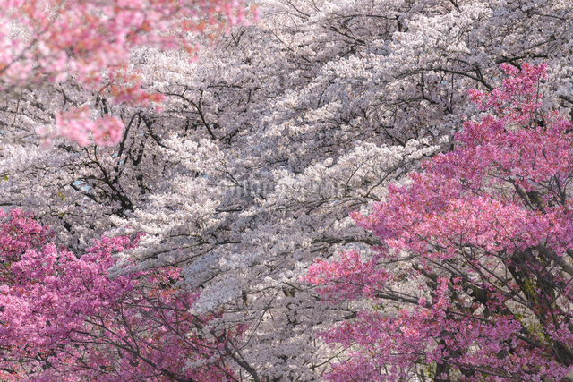 昭和記念公園 日本 東京都 昭島市の写真素材 [FYI04288017]