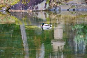 周囲の木々や石塔を映した緑美しい池を泳ぐ鴨の写真素材 [FYI04288202]