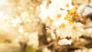 桜の写真素材 [FYI04288336]