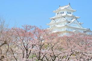 春の姫路城の写真素材 [FYI04288355]