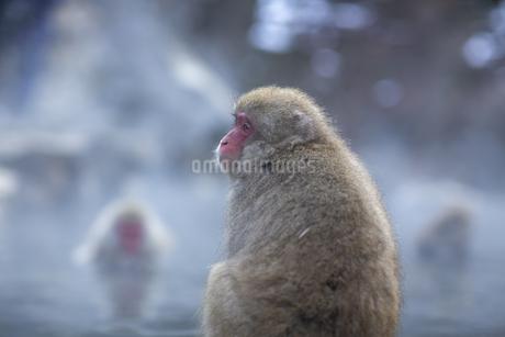 地獄谷野猿公苑の猿の写真素材 [FYI04288379]