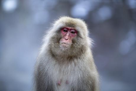 地獄谷野猿公苑の猿の写真素材 [FYI04288398]