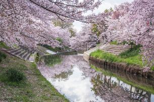 川にも映る満開の桜の写真素材 [FYI04288478]
