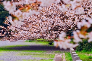 sakuraの写真素材 [FYI04288576]