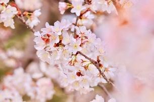 sakuraの写真素材 [FYI04288578]