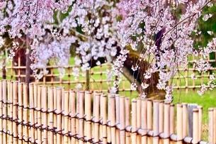 sakuraの写真素材 [FYI04288582]