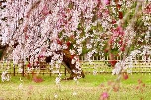 sakuraの写真素材 [FYI04288594]