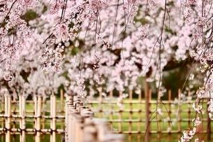 sakuraの写真素材 [FYI04288596]