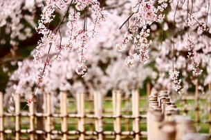 sakuraの写真素材 [FYI04288599]
