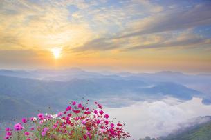 小熊山から望む雲海の木崎湖とコスモスと朝日の写真素材 [FYI04288682]