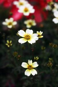 ウインターコスモスの白い花の写真素材 [FYI04288877]