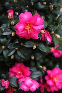 タチカンツバキの花の写真素材 [FYI04288884]