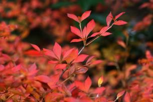 雨上がりのドウダンツツジの紅葉の写真素材 [FYI04288888]