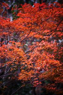 雨上がりのドウダンツツジの紅葉の写真素材 [FYI04288891]