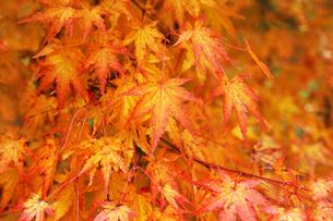 雨上りのモミジの紅葉の写真素材 [FYI04288894]