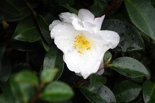 雨上りに咲くサザンカの花の写真素材 [FYI04288897]