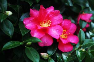 雨上りに咲くサザンカの花の写真素材 [FYI04288898]