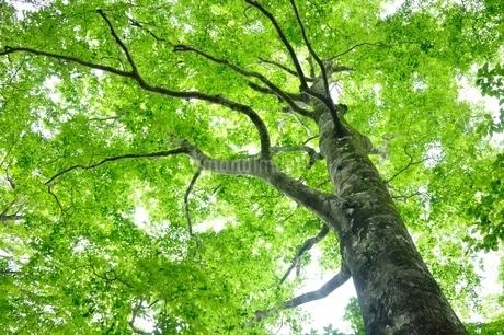 ブナの森の写真素材 [FYI04289280]