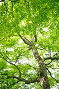 ブナの森の写真素材 [FYI04289282]