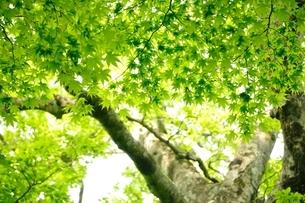 新緑のカエデの写真素材 [FYI04289284]