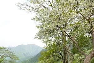 満開のシロヤシオに大室山の写真素材 [FYI04289292]