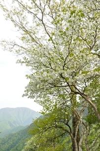 満開のシロヤシオに大室山の写真素材 [FYI04289294]