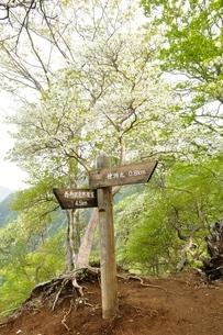 西丹沢 シロヤシオ咲く道の写真素材 [FYI04289295]