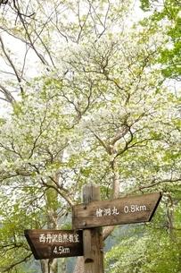 西丹沢 シロヤシオ咲く道の写真素材 [FYI04289296]