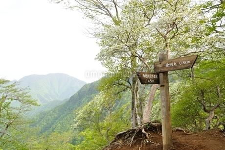 満開のシロヤシオに大室山の写真素材 [FYI04289297]