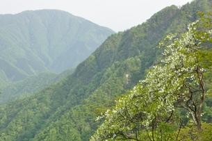 西丹沢 シロヤシオ咲く春の写真素材 [FYI04289298]