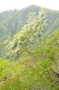 西丹沢 シロヤシオ木立ちの写真素材 [FYI04289299]