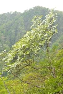 西丹沢 シロヤシオ木立ちの写真素材 [FYI04289300]