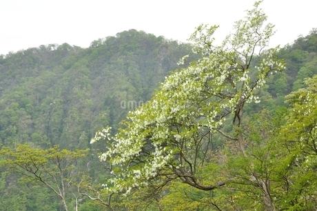 西丹沢 シロヤシオ木立ちの写真素材 [FYI04289301]