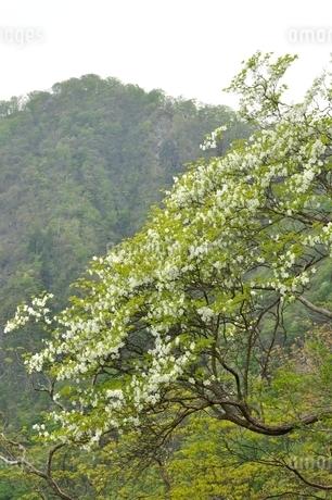 西丹沢 シロヤシオ木立ちの写真素材 [FYI04289302]