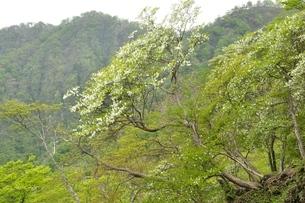 西丹沢 シロヤシオ木立ちの写真素材 [FYI04289303]